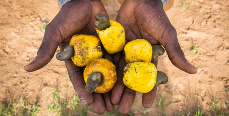 The biomass also contains the flesh of cashew fruits.